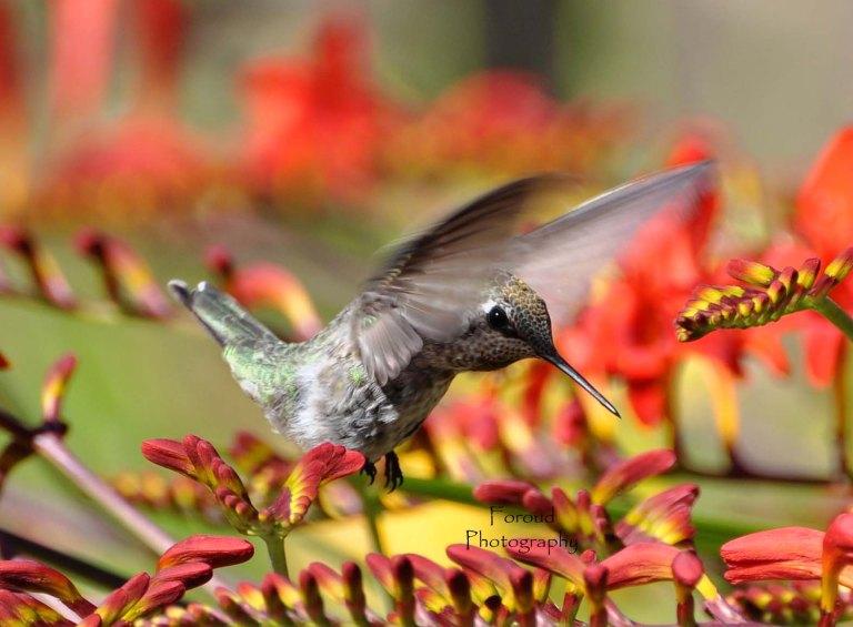 Hummingbird 5e